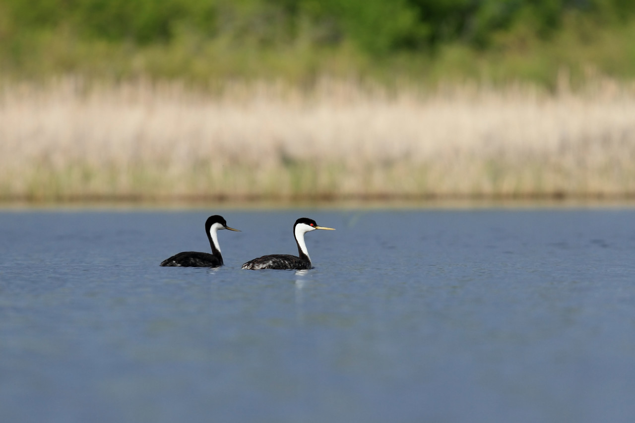 Western Grebe in Northwest MN