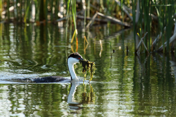 Western Grebe Working On Nest #2 (Aechmophorus occidentalist)