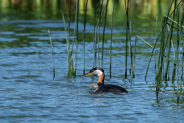I See You!! Red-Necked Grebe Parent With Young (Podiceps grisegena)