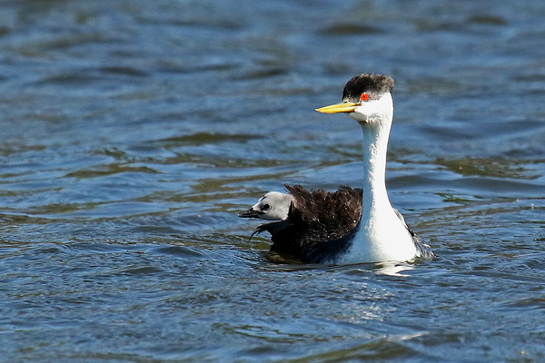 What's Happening? Western Grebe Parent With Young (Aechmophorus occidentalist)