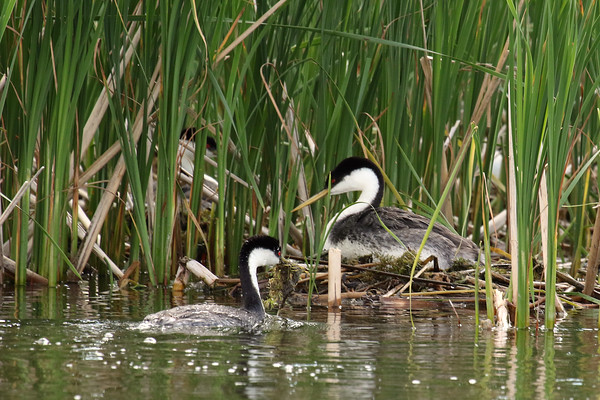 Western Grebe Pair Working On The Nest (Aechmophorus occidentalist)