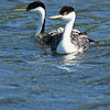 Western Grebe Family (Aechmophorus occidentalis)