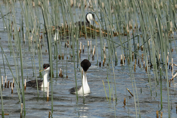 Two Western Grebe Pairs (Aechmophorus occidentalist)