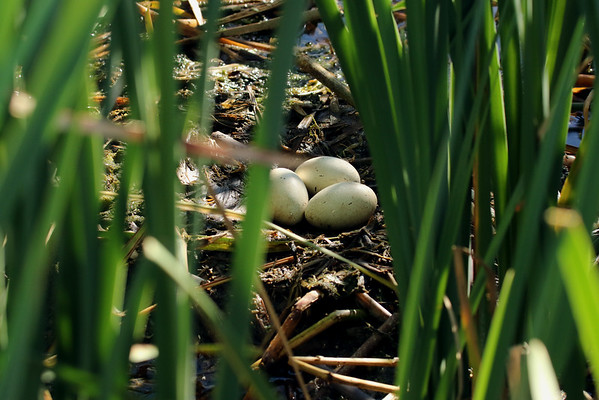 Western Grebe Eggs In Nest (Aechmophorus occidentalis)