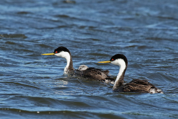 Nose Full!! Western Grebe Family (Aechmophorus occidentalist)