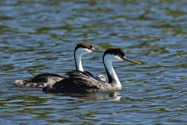 Do You See What I See?? Western Grebe Family (Aechmophorus occidentalis)