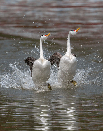 Clark's Grebes Rushing