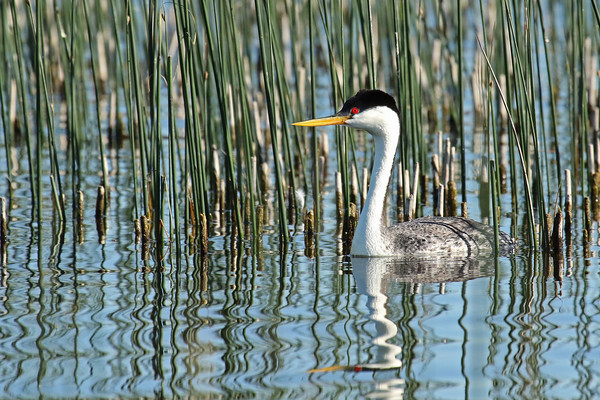 Western Grebe In The Reeds #2 (Aechmophorus occidentalist)