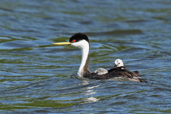 Who's That?? Western Grebe Parent With Young (Aechmophorus occidentalist)