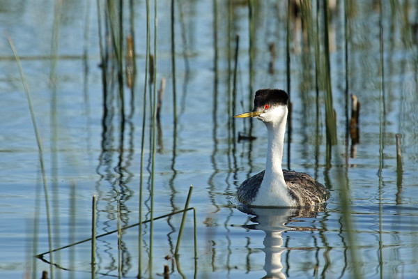 Western Grebe (Aechmophorus occidentalist)
