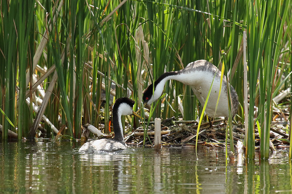 Western Grebe Pair Protecting The Nest #1 (Aechmophorus occidentalist)