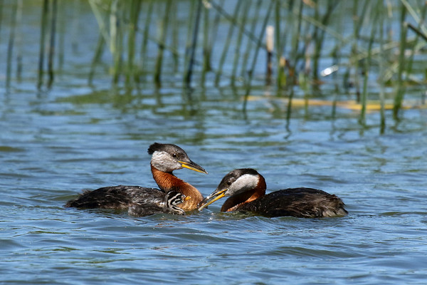Red-Necked Grebe Parent Feeding Young (Podiceps grisegena)