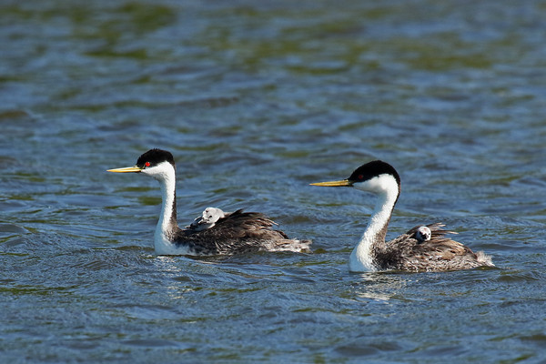 Western Grebe Family (Aechmophorus occidentalist)