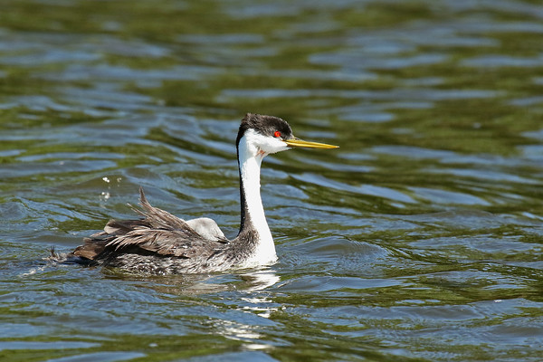 Western Grebe Parent With Sleepy Young (Aechmophorus occidentalist)