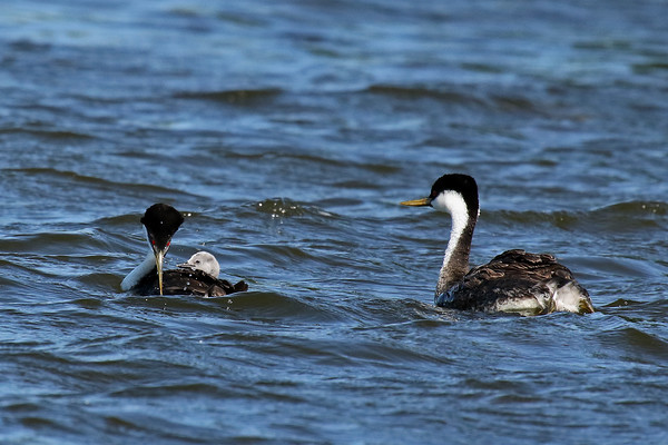 Don't Come Any Closer!! Western Grebe Family (Aechmophorus occidentalist)