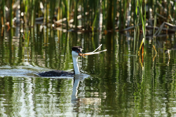 Western Grebe Working On Nest #1 (Aechmophorus occidentalist)