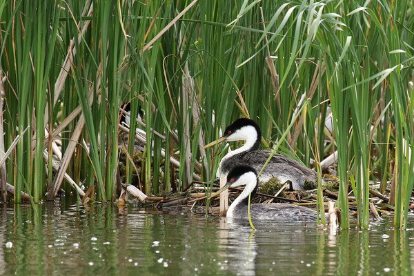 Western Grebe Pair On Nest (Aechmophorus occidentalist)