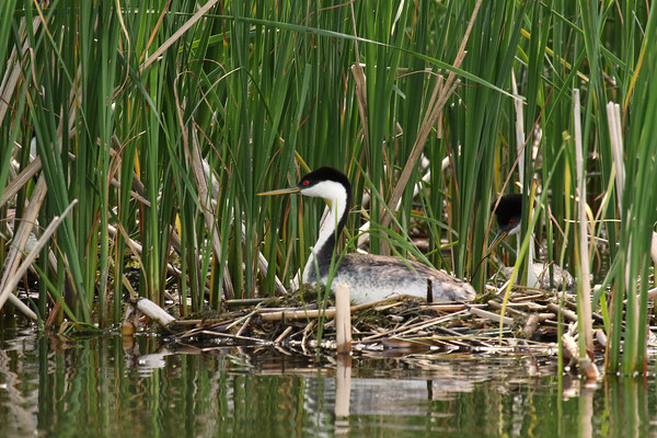 Western Grebe Nesting Pair (Aechmophorus occidentalist)