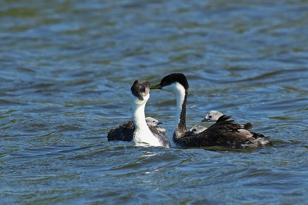 Western Grebe Family ( Aechmophorus occidentalist)