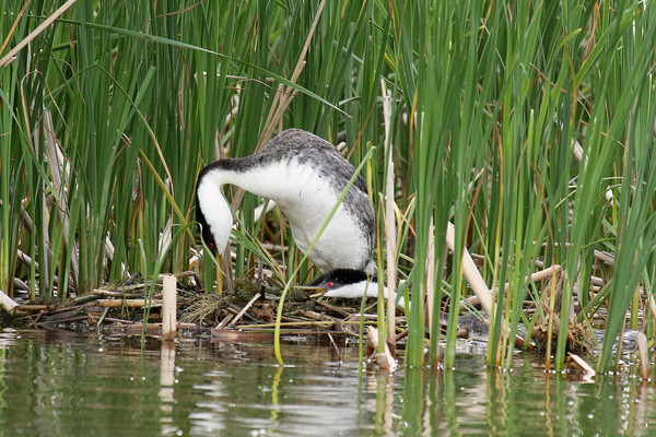 Western Grebe Pair Protecting The Nest #3 (Aechmophorus occidentalist)