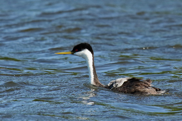 Western Grebe Parent With Young (Aechmophorus occidentalist)