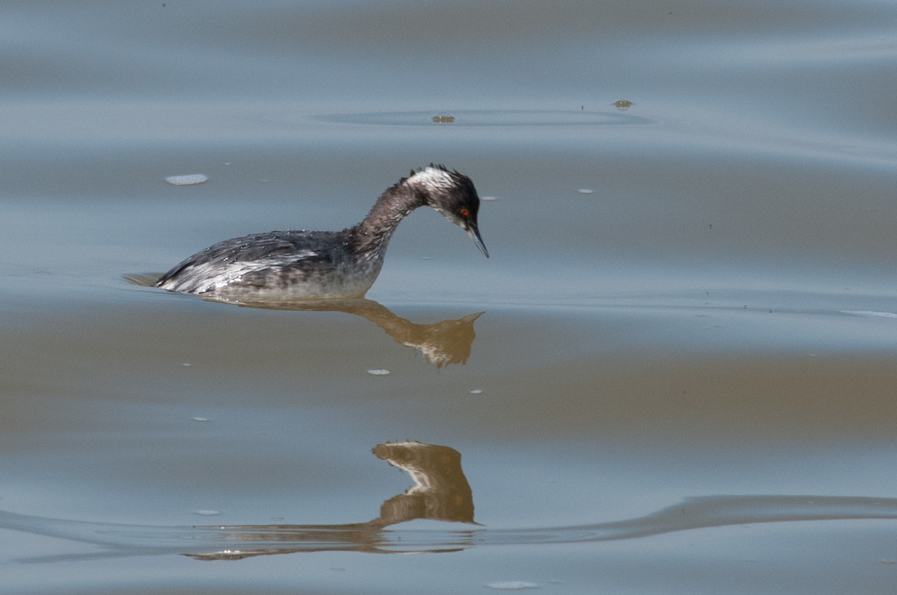 Earred Grebe about to dive.