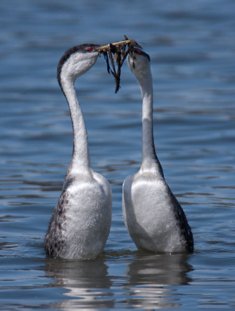 Western Grebes Presenting Nesting Material