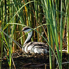 Western Grebe On Nest (Aechmophorus occidentalist)