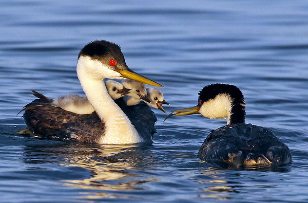 Western Grebe Family, Image Taken On One Of My Favorite Lakes In Minnesota