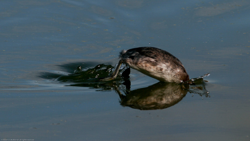 Eared Grebe_Ventura Settling Ponds_CA-023