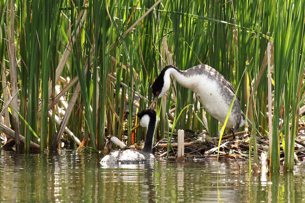 Western Grebe Pair Protecting The Nest #2 (Aechmophorus occidentalist)