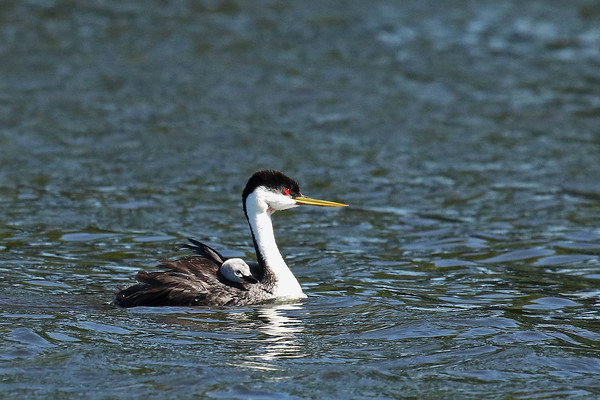 Western Grebe Parent With Young (Aechmophorus occidentalis)