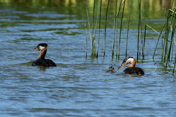 Red-Necked Grebe Family (Podiceps grisegena)