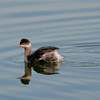 Eared Grebe_Ventura Settling Ponds_CA-017