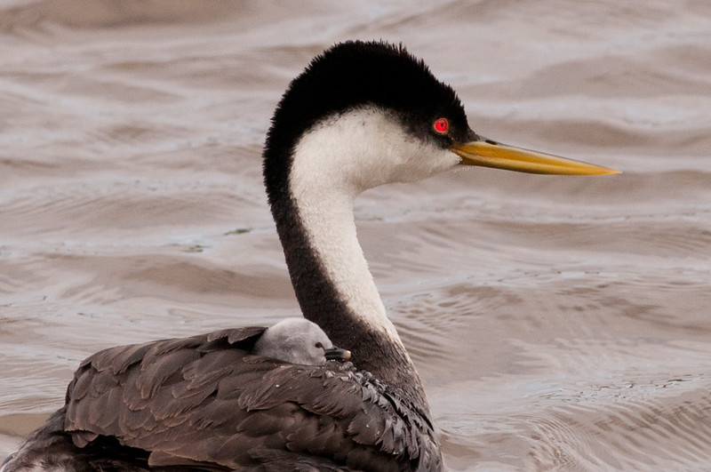 Western Grebe with hitchhiking chick at Malheur NWR