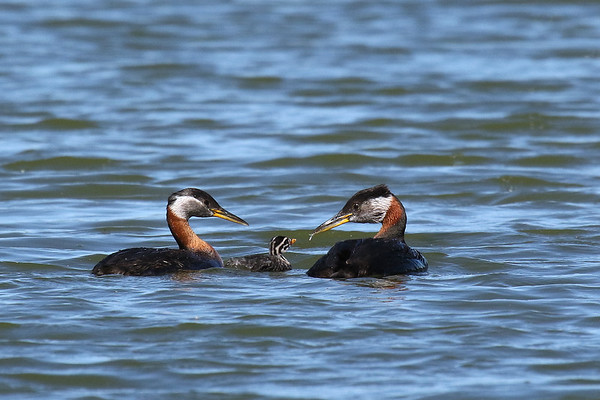 Red-Necked Grebe Young Having Breakfast (Podiceps grisegena)