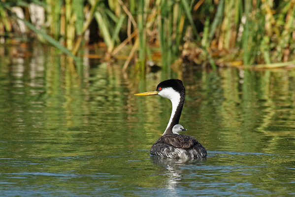 Western Grebe With Young (Aechmophorus occidentalis)