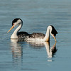 A Pair of Clark's Grebes