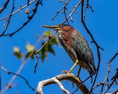 Green Heron in tree