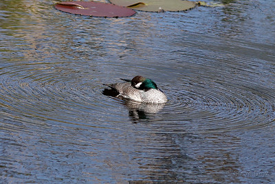 Green Pygmy-Goose
