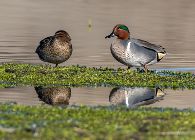 Male and Female Green-winged Teal ducks