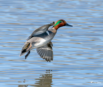 Green Winged Teal Duck in Flight