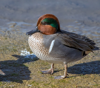 Green Winged Teal Duck