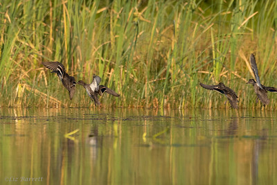 202A2379_Green Winged Teals