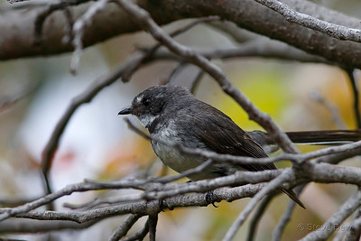 Grey Fantail - South-western Subspecies