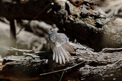 Grey Fantail - Immature