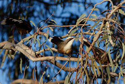 Grey-crowned Babblers
