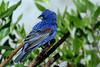 Blue Grosbeak (b0813)