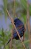 Blue Grosbeak b0811)