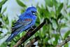 Blue Grosbeak (b0812)